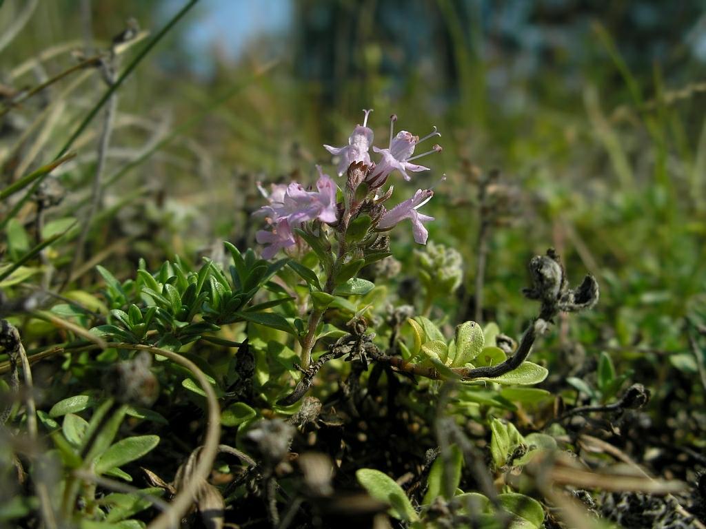 Thymus serpyllum. Автор фото: Константин Теплов