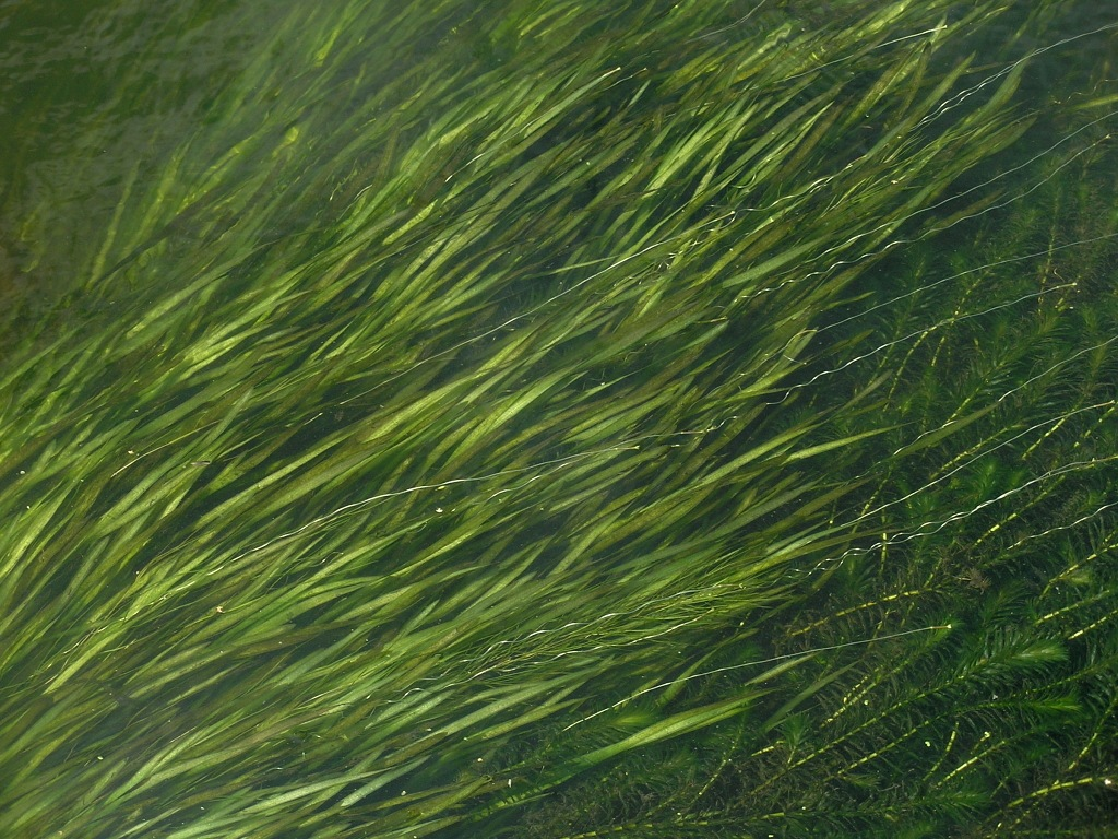 Vallisneria spiralis. Автор фото: Константин Теплов