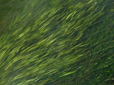 Валлиснерия спиральная (Vallisneria spiralis L. (1753)) из Америки освоилась в подогретых водах реки Пехорки (спирально завитые нити - женские цветки) - Люберецкий район Автор фото: Константин Теплов