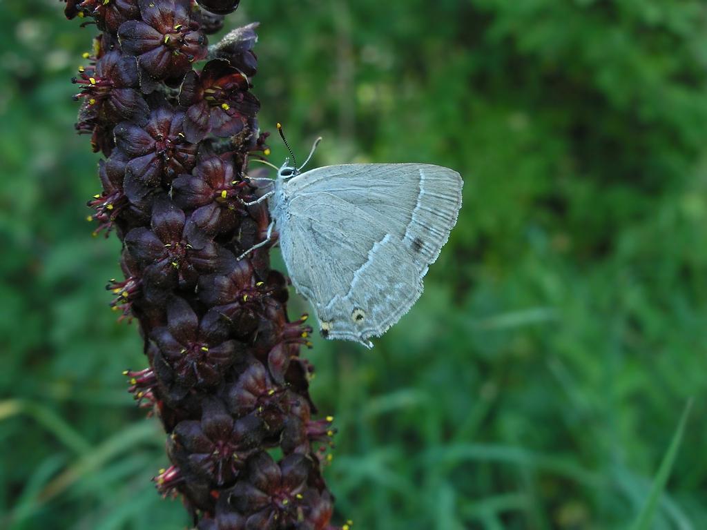 Veratrum nigrum и Quercusia quercus. Автор фото: Константин Теплов