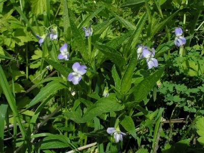 Фиалка горная, или высокая (Viola montana L. (1753)) - Коломенский район Автор фото: Константин Теплов