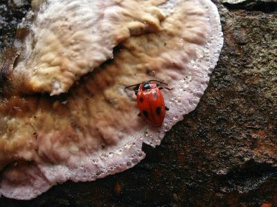 Плеснеед багряный (Endomychus coccineus) на плодовом теле Хондростереума пурпурного (Chondrostereum purpureum). Автор фото: Владимир Капитонов