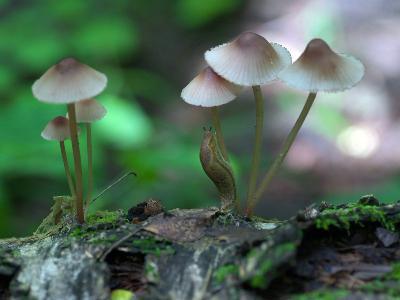 Слизень на Мицене красноокаймленная (Mycena rubromarginata) Автор фото: Владимир Капитонов