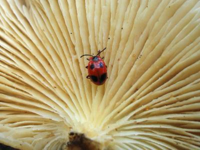 Плеснеед багряный (Endomychus coccineus) любит скрываться между пластинками Вешенки покрытой (Pleurotus calyptratus) Автор фото: Владимир Капитонов