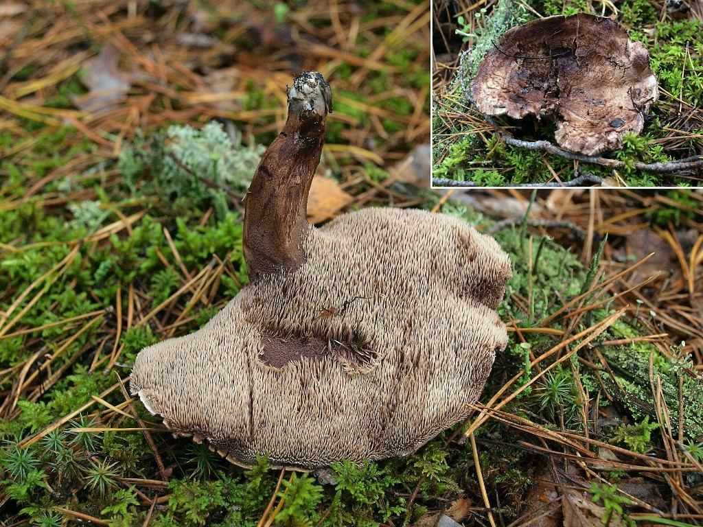 Sarcodon fennicus. Автор фото: Владимир Капитонов