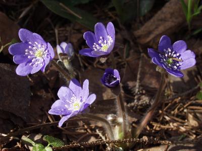 Hepatica nobilis. Автор фото: Наталия Панкова (Дубна)