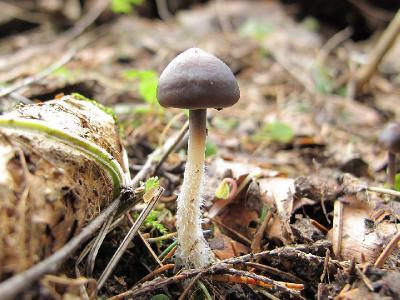 Mycena strobilicola – 27 апреля, Радищево, МО   Автор: Карпов Михаил (Москва) Автор фото: Получено по почте