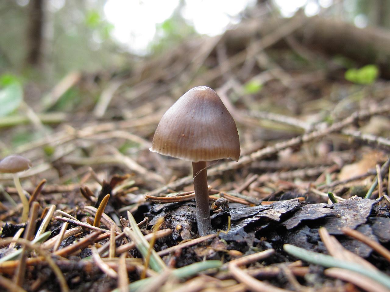 Mycena strobilicola. Автор фото: Карпов Михаил (Москва)