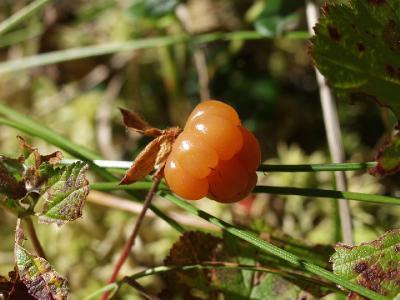 Морошка (Rubus chamaemorus). Автор фото: Наталия Панкова