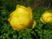 s:травянистые,i:многолетние,c:желтые,c:крупные,h:до 100 см,c:золотисто-желтые,f:листовка