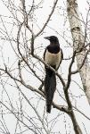 Сорока (Pica pica)Сорока-белобока - блестит окоЗанятные птицы. Летают так себе, но довольно такие важные. Наверное, из-за хвостовства, в смысле хвоста своего :)Снято этой весной, тоже рядом с домой-башней возле пешеходного моста через Яузу в районе ст. Тайнинская (это тоже город Мытищи)