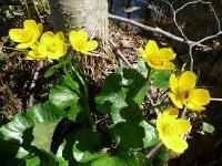 s:водные,s:травянистые,i:многолетние,c:желтые,лепестков 5,околоцветник актиноморфный