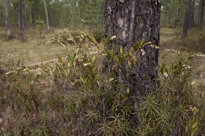 Хамедафне прицветничковая (Chamaedaphne calyculata) Автор фото: Наталия Панкова