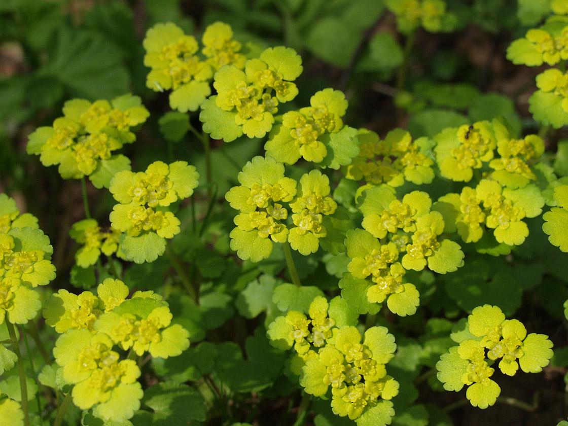 Chrysosplenium alternifolium. Автор фото: Наталия Панкова