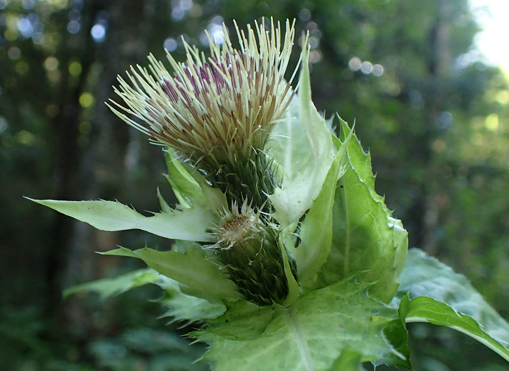 Бодяк огородный (Cirsium oleraceum). Автор фото:Наталия Панкова