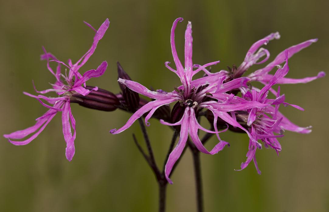 Кукушкин цвет обыкновенный (Coccyganthe flos-cuculi) Автор фото: Наталия Панкова