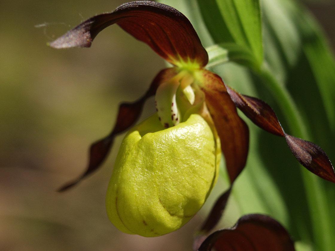 Венерин башмачок настоящий (Cypripedium calceolus). Автор фото  Наталия  Панкова ... 477d650598719