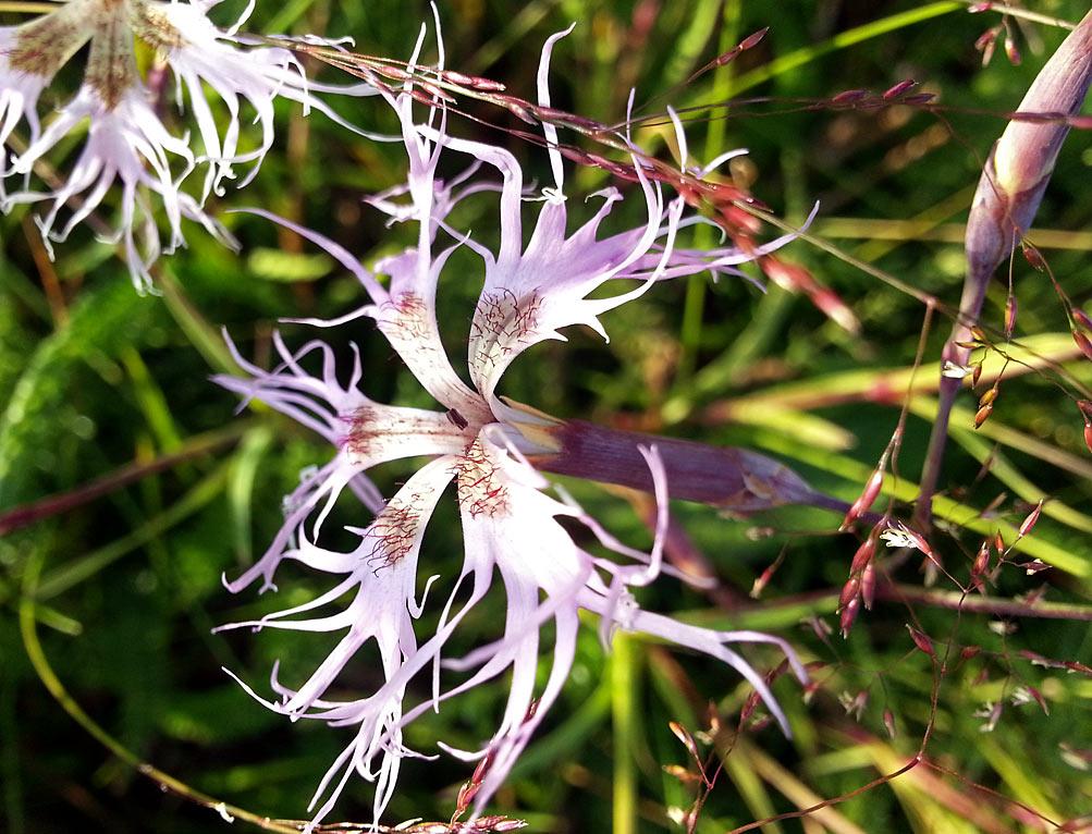 Гвоздика пышная (Dianthus superbus). Автор фото: Наталия Панкова