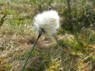 Eriophorum vaginatum. Автор фото: Наталия Панкова