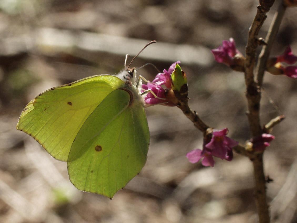 Gonepteryx rhamni. Автор фото: Наталия Панкова