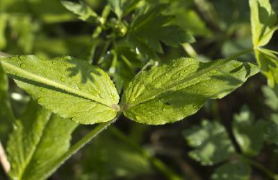 Звездчатка дубравная (Stellaria nemorum) Автор фото: Наталия Панкова