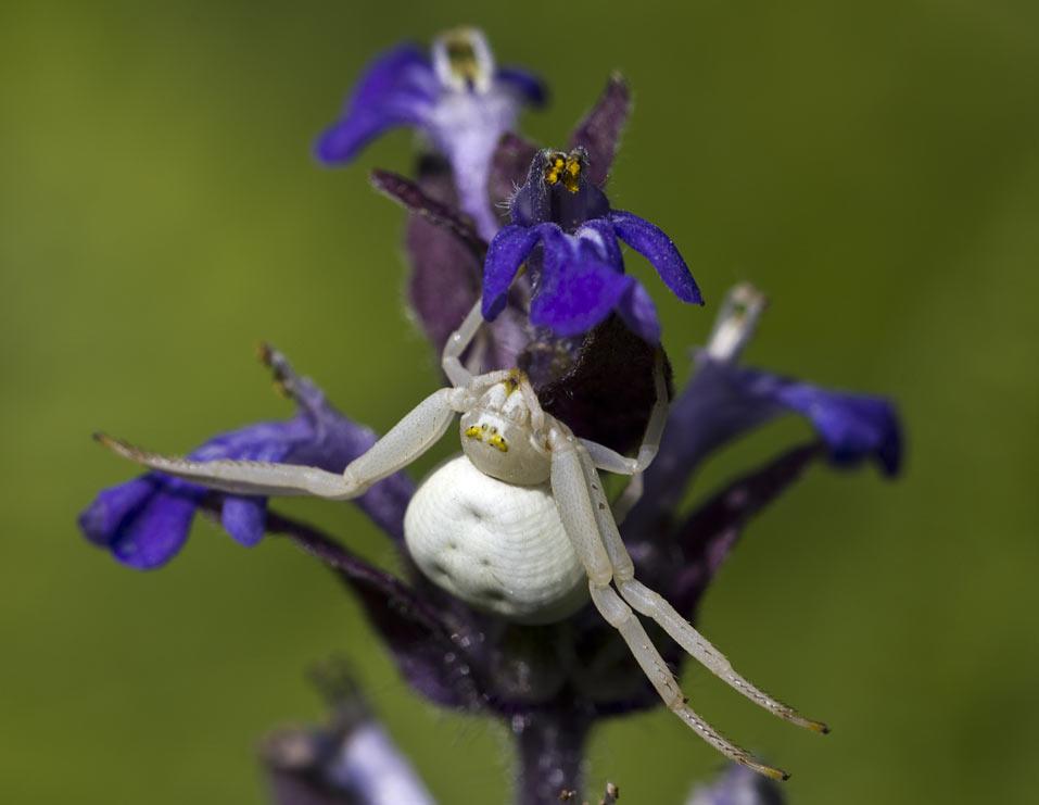 Паук цветочный (Misumena vatia). Автор фото: Наталия Панкова