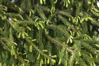 s:деревья,s:вечнозелёные