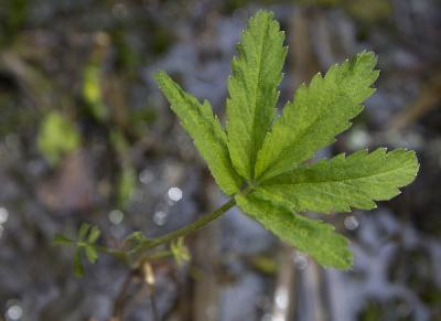 Сабельник болотный (Comarum palustre) Автор: Наталия Панкова