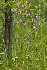 Кукушкин цвет обыкновенный (Coccyganthe flos-cuculi) Автор: Наталия Панкова