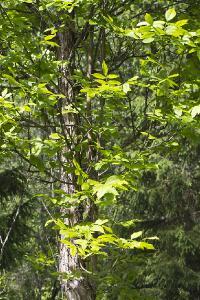 Ясень высокий (Fraxinus excelsior). Московская область, Талдомский р-н, лес на берегу канала им. Москвы. Автор фото: Наталия Панкова