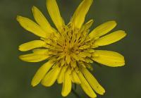 c:желтые,s:травянистые,s:розеточные,s:злаковидные,b:прямостоячий,лепестков 7 и более,околоцветник сростнолепестный