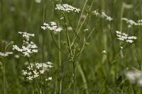 s:травянистые,соцветия - зонтик,c:белые
