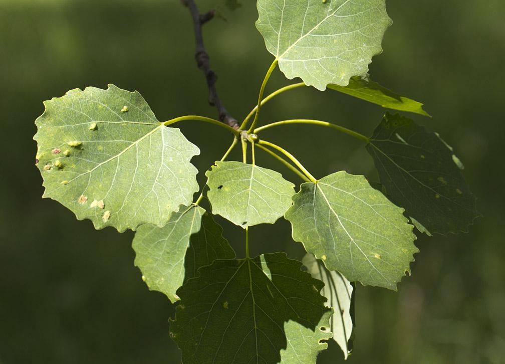 Осина обыкновенная (Populus tremula). Автор фото: Наталия Панкова