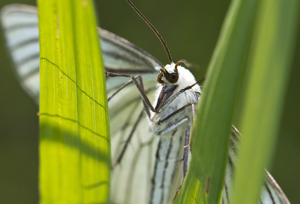 Пяденица линейчатая (Siona lineata). Автор фото:Наталия Панкова