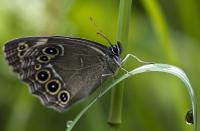 s:дневные бабочки,c:с темными пятнами,s:бабочки