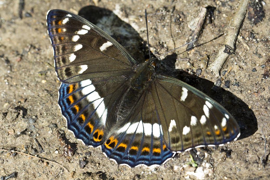 Ленточник тополёвый (Limenitis populi). Автор фото:Наталия Панкова