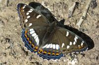 s:дневные бабочки,c:тёмно-бурые,c:c белыми пятнами,размах крыльев до 75 мм