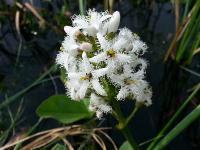 c:белые,s:травянистые,i:многолетние,f:коробочка,c:беловатые,соцветия - кисть,d:в болотах,d:на сфагновых болотах,d:по берегам рек и ручьев