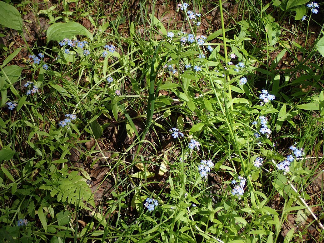 Незабудка болотная (Myosotis palustris). Автор фото:Наталия Панкова