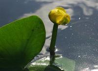 c:желтые,s:водные,d:по берегам рек и ручьев,d:в прудах,i:многолетние