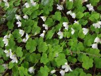 c:белые,s:травянистые,i:многолетние,корневище тонкое,корневище ползучее,l:тройчатые,l:длинночерешковые,лепестков 5