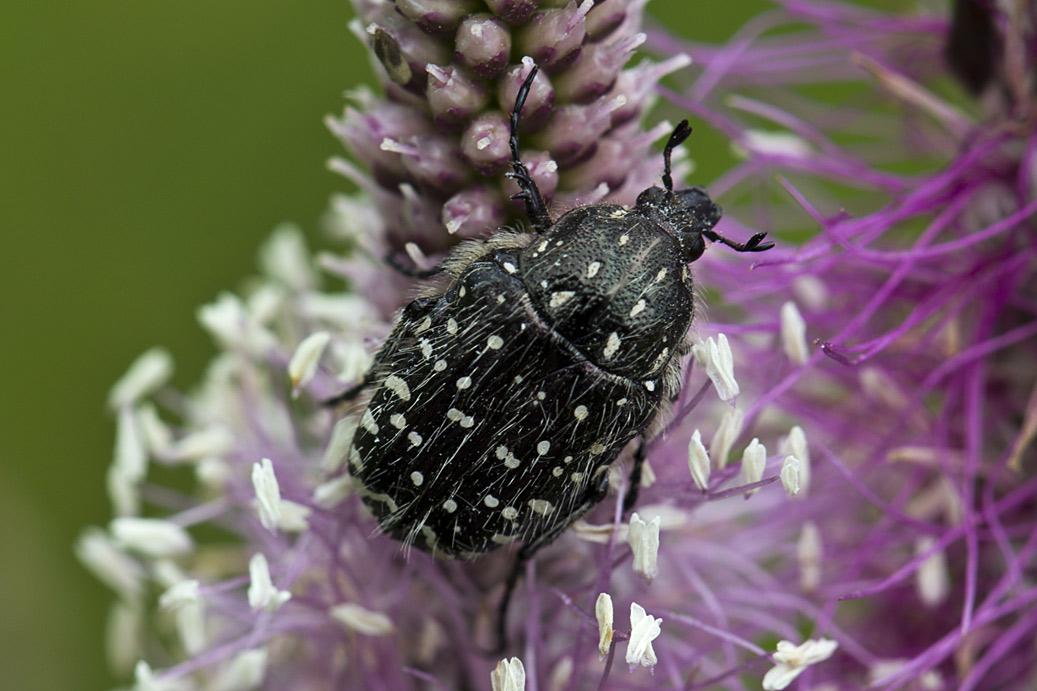 Вонючая бронзовка (Oxythyrea funesta). Автор фото: Наталия Панкова