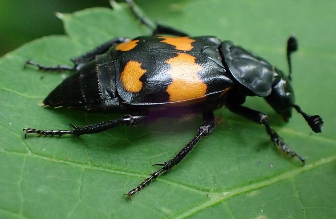 Могильщик-погребатель (Nicrophorus vespilloides). Автор фото: Наталия Панкова