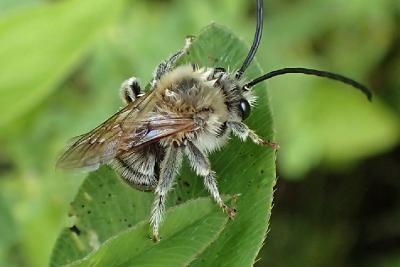 Пчела длинноусая (Eucera longicornis) Автор: Наталия Панкова