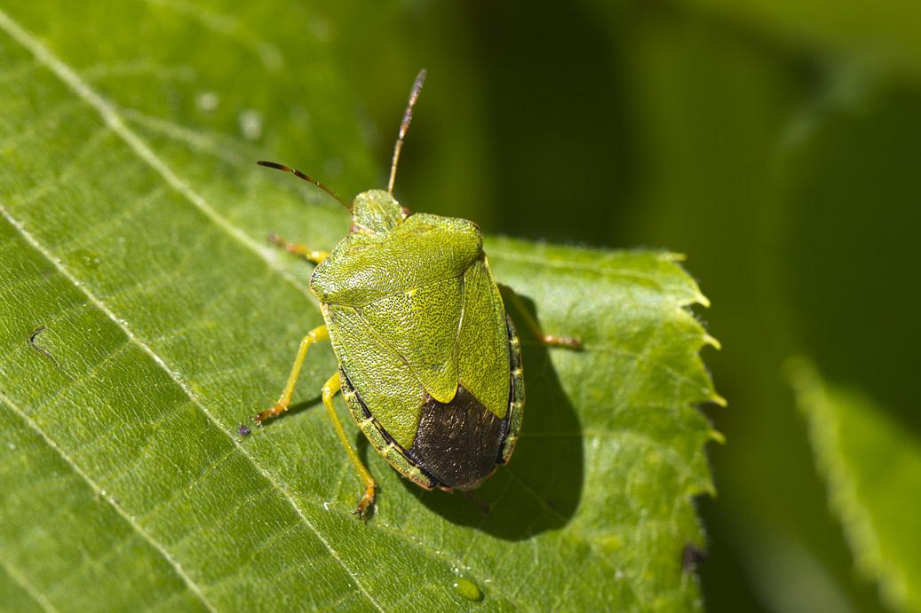 Щитник <span class=wiki>зелёный</span> древесный (Palomena prasina). Автор фото: Наталия Панкова
