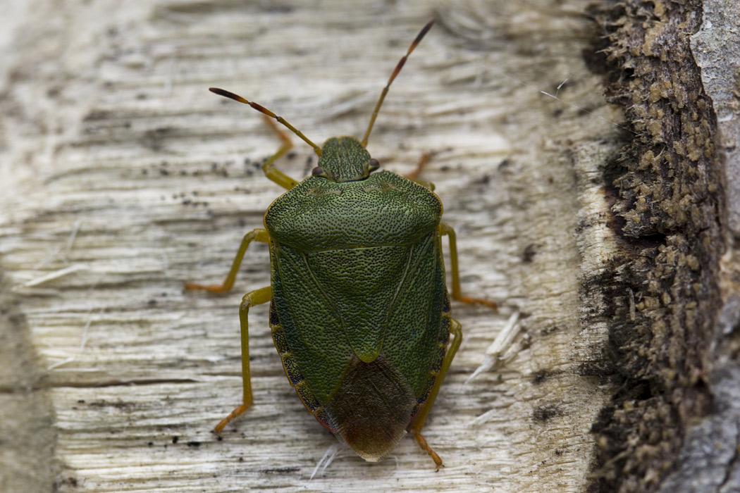 Щитник <span class=wiki>зелёный</span> древесный (Palomena prasina). Автор фото:Наталия Панкова