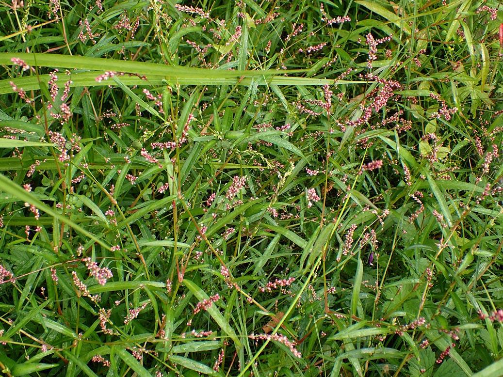Горец малый (Persicaria minor). Автор фото:Наталия Панкова