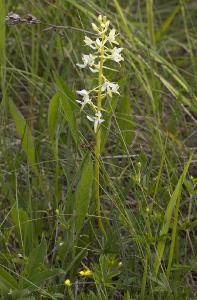Любка двулистная (Platanthera bifolia) Автор фото: Наталия Панкова