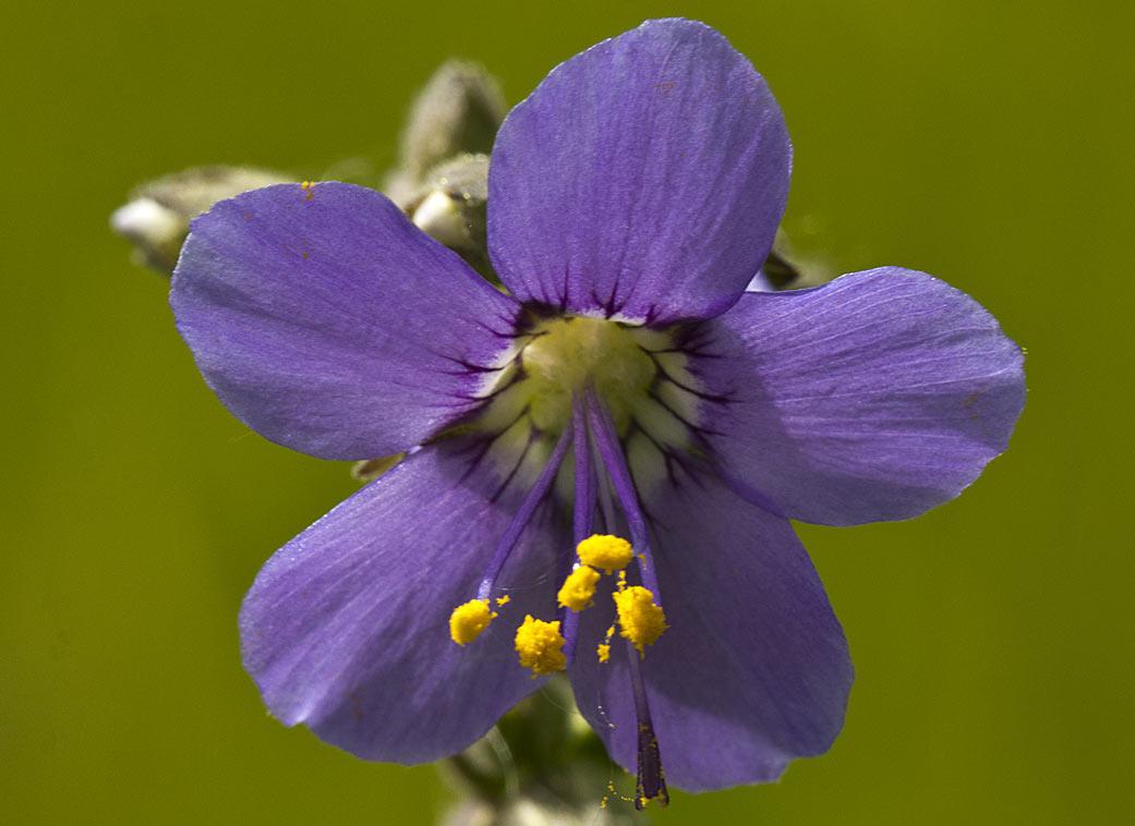 Синюха голубая (Polemonium caeruleum) Автор фото: Наталия Панкова