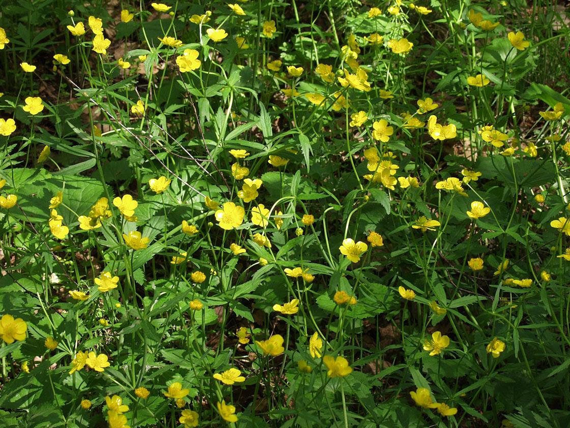 Ranunculus acris. Автор фото: Наталия Панкова